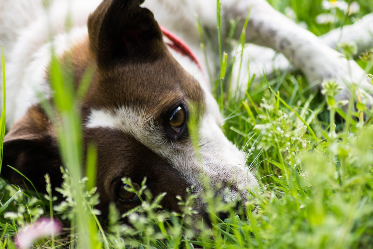 Does Your Dog Have Pollen Allergies?