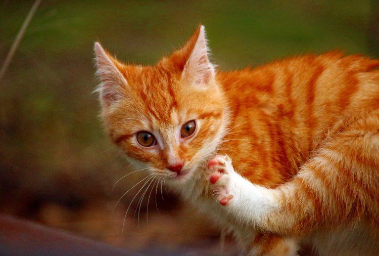 Ask an Expert: Cat Scratching its Head   VetDERM Clinic